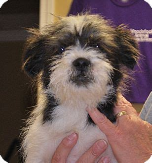 wire haired terrier shih tzu mix ky shih tzu wirehaired fox terrier mix meet pollysue a puppy for adoption