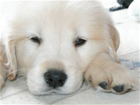 golden retriever breeders ma golden retriever adoption massachusetts photo