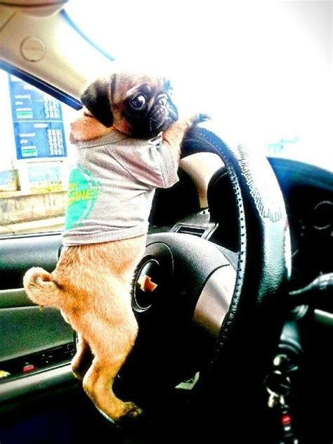 pugs in the car pug says hurry get in the car mcdonalds pugapalooza pug