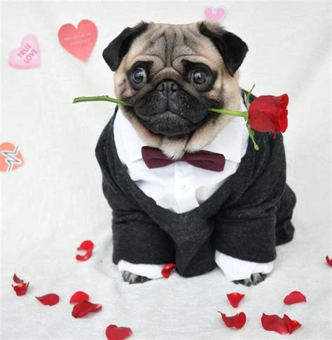 pug dressed up pug dressed up in human clothes becomes sensation daily
