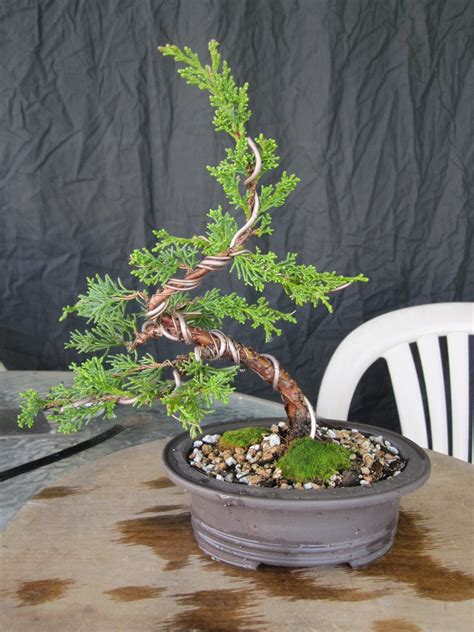 in door plant put in pot vide how to make a juniper bonsai for under 30 00 youtube