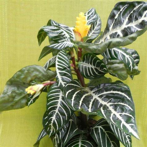 flowering houseplants  blooming indoor plants