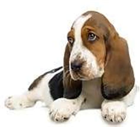 basset hound puppies for sale in arkansas basset hound puppies for sale in arkansas