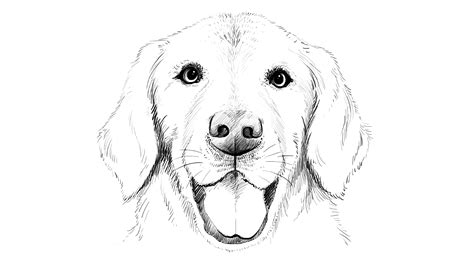 how to a lab puppy how to draw labrador