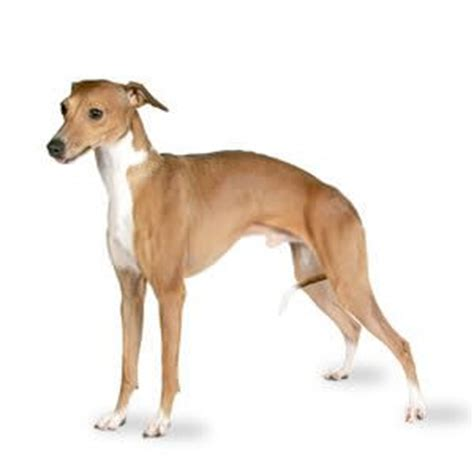 Do Italian Greyhounds Shed A Lot by Italian Greyhound The Breeds Bible
