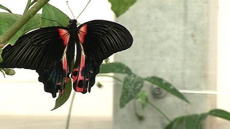 imagenes nuevas sorprendentes bbc mundo noticias descubren nueva especie de mariposa