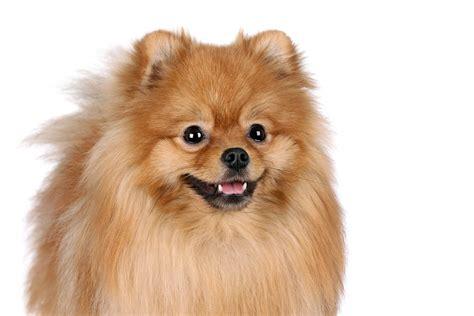 pomeranian puppies info pomeranian dogs breed information omlet