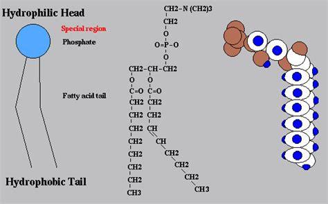 cell biologymembranesphospholipids wikibooks open