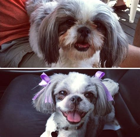 aussiedoodle haircuts 10 dogs before and after their haircuts add yours