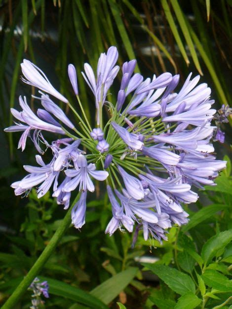 25 best ideas about agapanthus africanus on pinterest agapanthus blue white flowers and