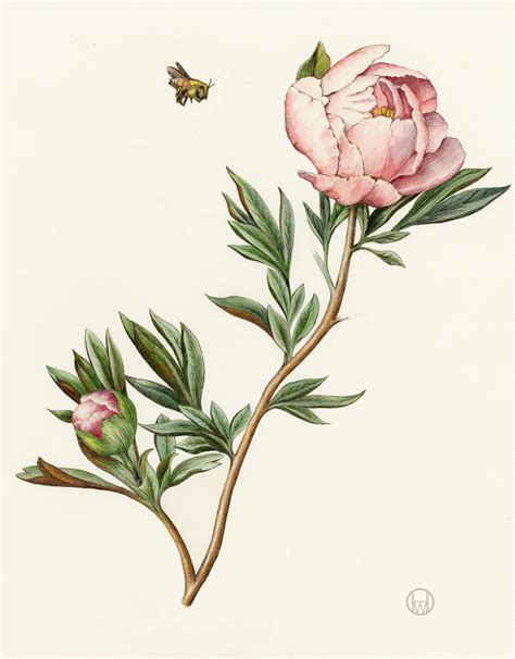 botanical drawing in color 0823007065 peony