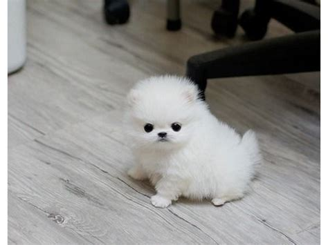 teacup pomeranian puppies for sale toronto best 25 poodle puppies for sale ideas on poodle puppies maltese