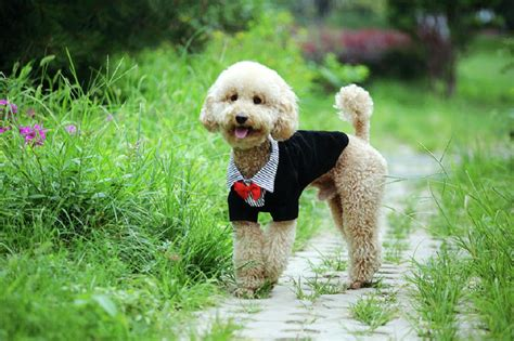 pictures of different types of poodles poodle