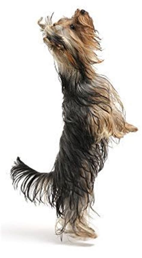 pattern making courses yorkshire 1000 images about yorkies on pinterest yorkie