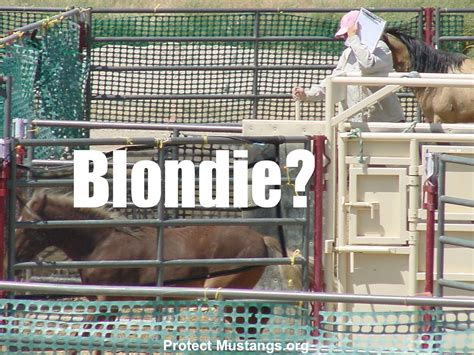 blm mustang roundup blondie was taken from family and freedom then facing