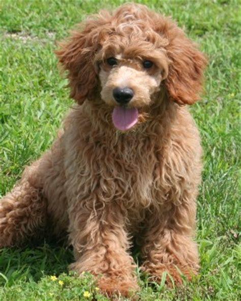 mini goldendoodles for sale in iowa mini goldendoodle puppies for sale in iowa breeds