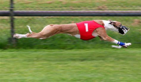 greyhound racing file greyhound racing amk jpg
