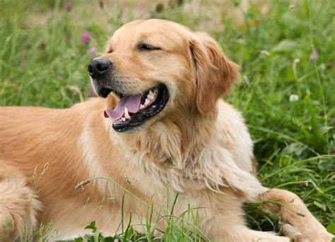 taking care of golden retriever golden retriever puppies food