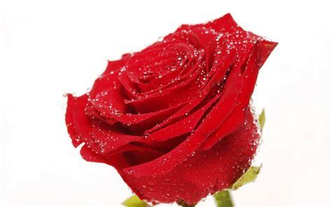 wallpaper bunga mawar vektor gambar bunga mawar ucapan selamat pagi gambarrrrrrr