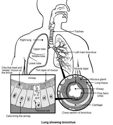 diagram of bronchioles lung bronchi diagram patient co uk
