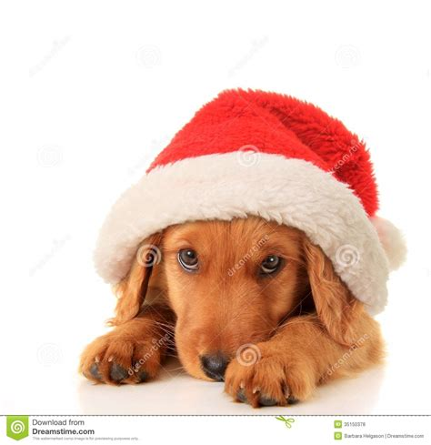puppy with santa hat santa puppy royalty free stock photos image 35150378