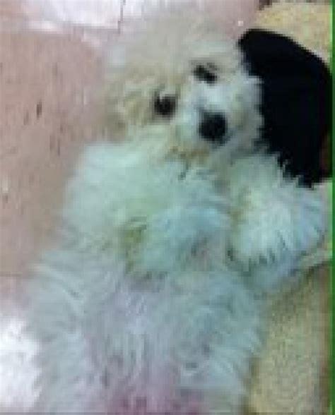 pomeranian puppies for sale in richmond va teacup pomeranian puppies for sale in richmond breeds picture