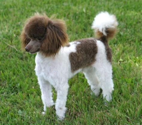 parti poodle puppies about the poodle aussiedoodle and labradoodle puppies best labradoodle breeders in