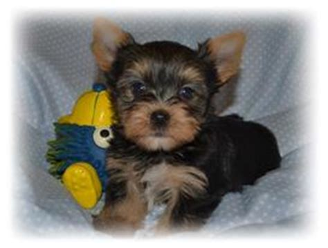 yorkie puppy care yorkie puppy care guide mirage yorkies