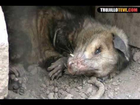 imagenes de animales faras conociendo a la muca o zarig 252 eya youtube
