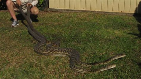 snakes found fighting in cairns roof
