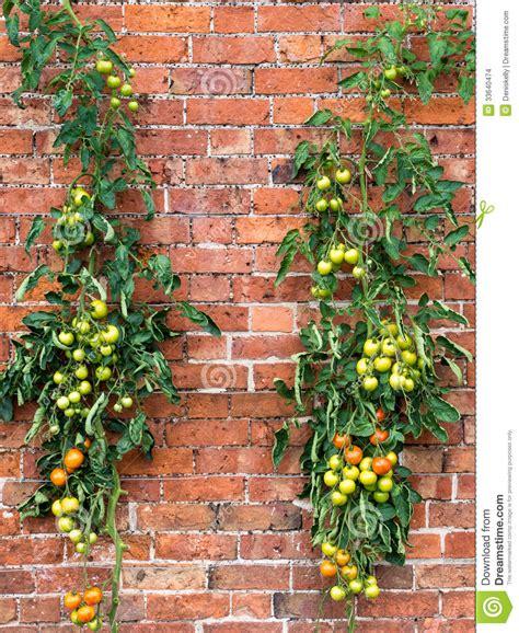 tomato vines growing stock photo image of organic vegetables 33640474