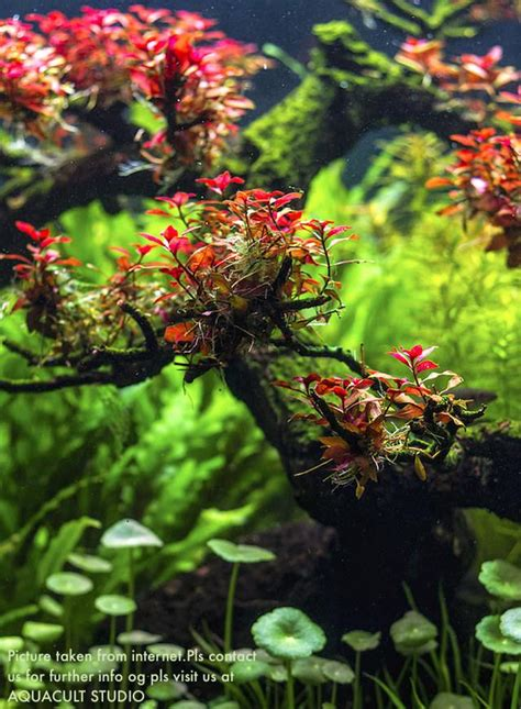 aquascape plants for sale aquascape plants for sale 28 images aol image search