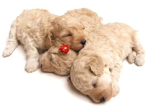 how big will my puppy get puppy growth chart aussiedoodle and labradoodle puppies best labradoodle breeders