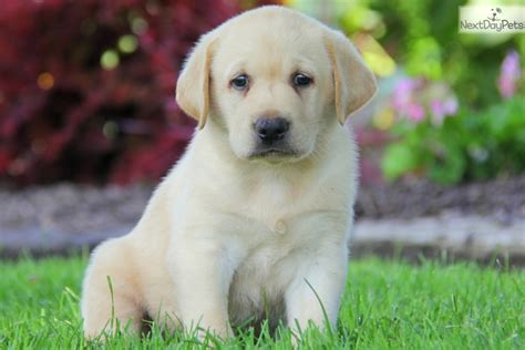 yellow lab puppies near me labrador retriever puppy for sale near lancaster pennsylvania 73a7237a fd71
