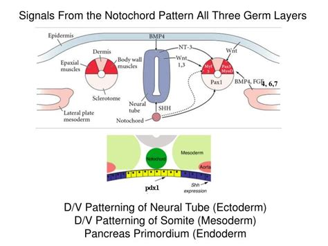 pattern formation notochord ppt organogenesis ii endodermal organs powerpoint