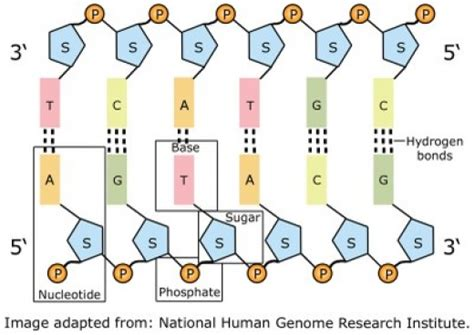 How Many Letters Does Dna