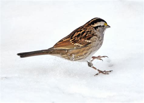 white throated sparrow hop hop hopping along for