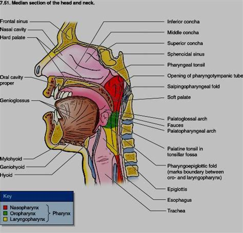 anatomy sections rahulgladwin com image gallery free usmle medical images