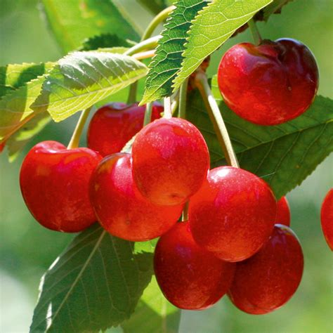 cherry tree mac os x gourmet fruit tree cherry all fruit trees fruit trees fruit garden dobies