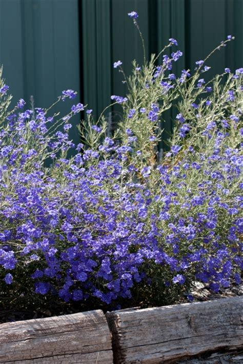 growing australian native plants   garden