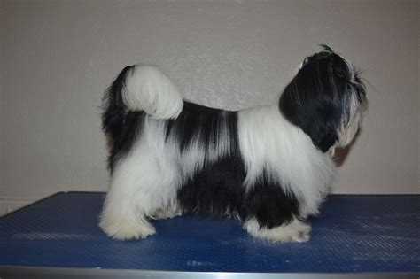 1 month shih tzu puppy kc 6 month shih tzu for sale rochdale greater manchester pets4homes