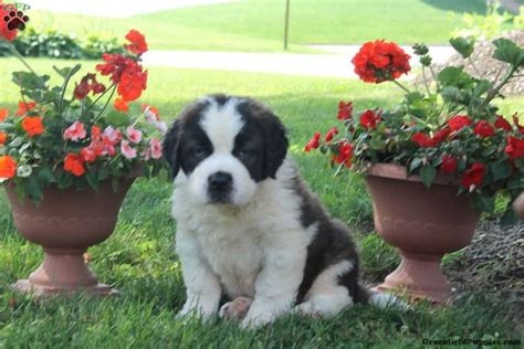 st bernard puppies for sale in pa ethan bernard puppy for sale in pennsylvania