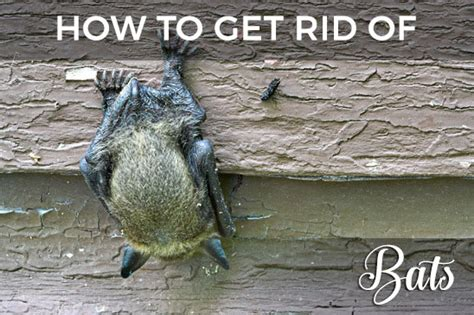 How To Get Rid Of A Bat On My Porch how to get rid of bats in your attic the ultimate repellent