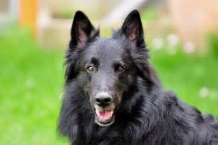belgian sheepdog personality belgian sheepdog dog breed gallery