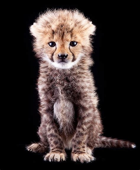 baby cheetah cub to become part of busch gardens cheetah baby cheetah at busch gardens animal fact guide