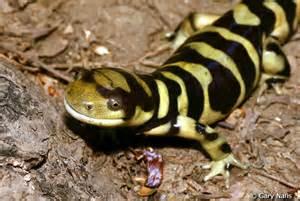 western tiger salamander ambystoma mavortium