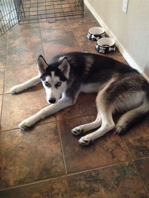 Reduce Shedding by 17 Best Images About Siberian Husky Owner On A