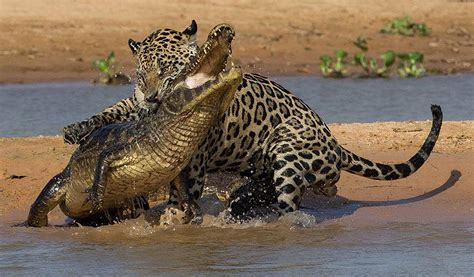 jaguar huntington image gallery jaguar pantanal