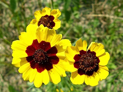 flower homes coreopsis flowers