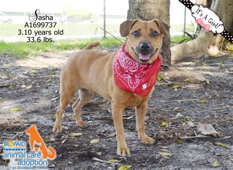 broward adoption 70 best dogs for adoption broward county images on